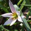 「春の妖精」の開花株をもう一度