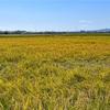 稲刈り撮影