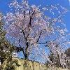 隣家の枝垂れ桜