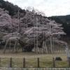 岐阜県本巣市根尾の淡墨桜!日本三大桜。天然記念物で樹齢1500年は見るべし!
