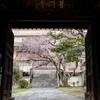 枝垂れ桜が咲き始めた