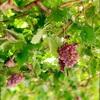 東京・名古屋から2時間で行ける伊豆のワイナリー♪ブドウが見頃♪