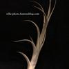 【Tillandsia albida × intermedia】