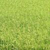 白米をスーパーフード発芽玄米に変えるだけでやせる!?老化防止効果も!
