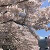 2017/4/14~15 満開の桜と新しいおともだちと野暮用と (=°ω°)