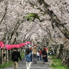 2018年瀬戸川桜まつり