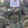 石樹、力と信仰(岡田八幡神社―力石と乳房銀杏)