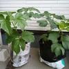 アシタバ栽培 25日目/成長が嬉しい反面・・・