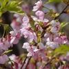 白山市蝶屋の「河津桜」