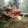 大峰北部の倒木状況