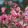梅の花を見て思い出すことと、母の誕生日