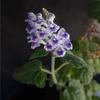 Scutellaria rubropunctata