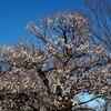 今週の一枚・梅開花