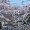 大岡川の桜並木を歩く