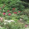 白野江植物公園の牡丹