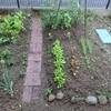 サラダ菜の初収穫と間引き!