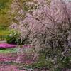 春の宇和島・芝桜の山本牧場と九島の夕日