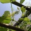 ブドウの花のその後と抽出後のコーヒー(活性炭・乾煎り済)を蚊取り線香の燃焼ベッドにした《蚊いぶし》の作業現場での実験結果は