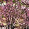 東京ミッドタウン他夜桜巡り2017(23区内桜ウオッチ23分の4…)