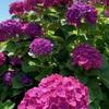 峠の紫陽花を見にいく(2)