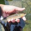 神奈川県・箱根に流れる須雲川で「鮎」が大量に死んでいるのが見つかる…その数、なんと「500匹」以上