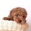 うちの愛犬、りゅうのすけ!トイプードル3歳!