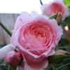 バラの有機栽培や無農薬栽培について