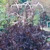 キミキフーガ・ブルネットを植える