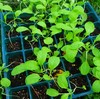 ポットに植え替えてみるも…その後|苗を育てる