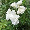 ツルバラの花