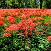 野川公園の彼岸花を見に行ってきた
