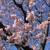 2-343   早咲き桜は満開です!!