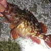 ソルトルアー 某漁港でライトゲーム 3月23日