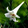 再掲:真夏に咲くテッポウユリ