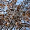 日本一ゆっくりな桜の便り