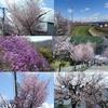 桜が咲きました!! ジュエルで兜のおまけ、ありがとうございます!!