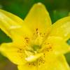 花粉の出ないスカシユリ