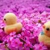 いちめんの芝桜