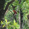 八重山の野鳥①リュウキュウアカショウビン
