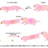 ハダカデバネズミは尾を引っ張り、仲間の労働を妨害する 集団的意思決定に背く行動の発見 理化学研究所