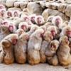 寒波で100匹以上、身を寄せ合い「サル団子」