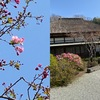 海蔵寺のカイドウ 今朝(3月25日)訪れてみると----  三分咲きといったところ?  つぼみは全て大きく膨らんで,今週末には見頃でしょう.ハナカイドウはリンゴの仲間です:バラ科・リンゴ属 Malus  ハナカイドウ M. halliana  .リンゴ属の木々.実には大小の違いがあっても,いずれも美しい花を咲かせるようですね.なお,バラ科の分類は,中身(亜科,連)が大きく変わってきています.  リンゴ属の仲間の系統樹も明らかになってきました.