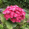 三室戸寺の紫陽花庭園