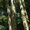 8月31日初秋のモミ林