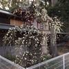 須磨・綱敷天満宮の梅が見頃です♪( ´▽`)
