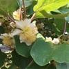 キュウイの花