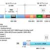 mRNAワクチンを受けた人から抗原タンパクと抗体を検出