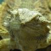 フトアゴヒゲトカゲの飼い方|値段は?維持費用は?飼育環境を整えよう