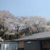 桜 満開です。