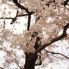 上野の桜 その1